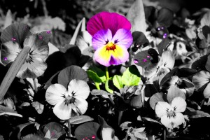 flower Black and White with Color